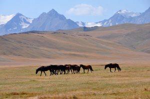 Des chevaux du Kirghizistan